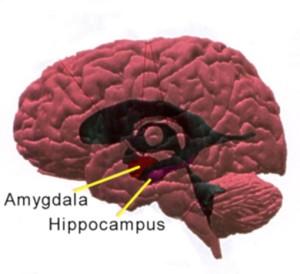 Hippocampus och amygdala var två viktiga delar av den primitiva lukt- och näshjärnan. Evolutionen har senare utvecklat cortex och senare neocortex. I vår tid sköter dessa strukturer det mesta av hjärnans minnes- och inlärningsfunktioner. Amygdala kan väldigt förenklat sägas vara hela vårt känslocentrum.